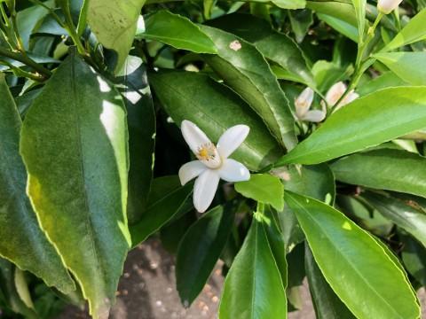 レモンの花です